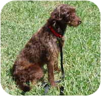 Doberman Pinscher/Poodle (Standard) Mix Dog for adoption in Melbourne, Florida - CHOCOLATE COCO