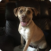 Hound (Unknown Type)/Retriever (Unknown Type) Mix Dog for adoption in Baton Rouge, Louisiana - Gracie  (Foster Care)
