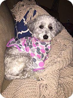 Maltese/Yorkie, Yorkshire Terrier Mix Dog for adoption in Mesa, Arizona - Kimber