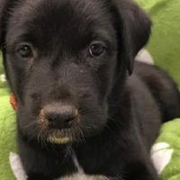 Adopt A Pet :: Bridget - justin, TX