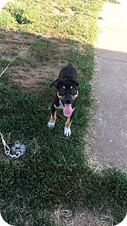 German Shepherd Dog/Rottweiler Mix Puppy for adoption in Enid, Oklahoma - Ares
