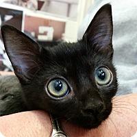 Adopt A Pet :: Eclipse - Sarasota, FL