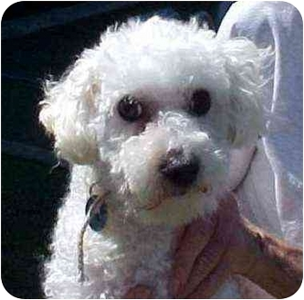 Bichon Frise Mix Dog for adoption in Spring Valley, California - Bogey
