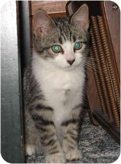 Domestic Shorthair Kitten for adoption in Owatonna, Minnesota - Bailey