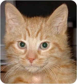 Domestic Shorthair Kitten for adoption in Troy, Michigan - Sherby
