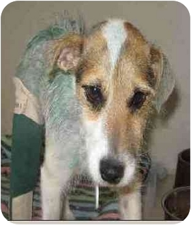Jack Russell Terrier Mix Puppy for adoption in Spring Valley, California - Martini