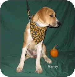 Boxer/Great Pyrenees Mix Puppy for adoption in Croydon, New Hampshire - Marley