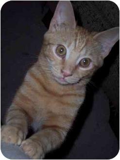 Domestic Shorthair Kitten for adoption in Delmont, Pennsylvania - G-Man