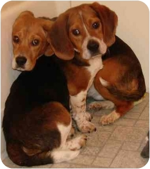 Beagle/Basset Hound Mix Dog for adoption in Mt Airy, North Carolina - Mickey