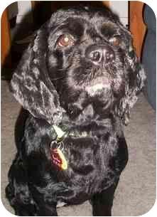 Cocker Spaniel Mix Dog for adoption in Arlington, Texas - Madison