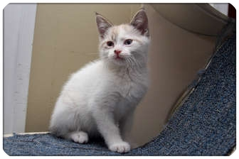 Siamese Kitten for adoption in Sterling Heights, Michigan - Salty - ADOPTED!