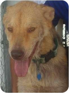 Labrador Retriever Mix Dog for adoption in Coral Springs, Florida - Bruno