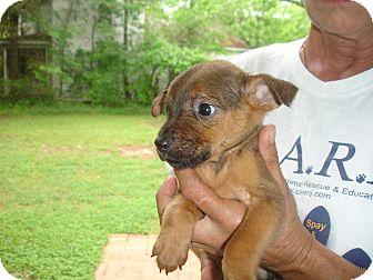 German Shepherd Dog Mix Puppy for adoption in Old Bridge, New Jersey - Demi