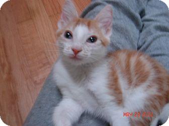 Domestic Shorthair Kitten for adoption in Smithfield, North Carolina - Duomo