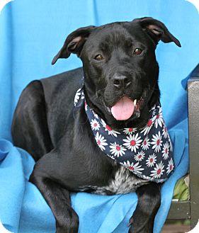 Labrador Retriever/Boxer Mix Dog for adoption in Irvine, California - Bogie