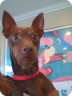 Miniature Pinscher Dog for adoption in Poway, California - Patriot