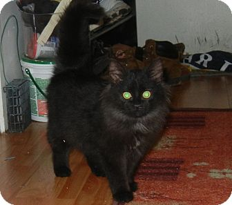 Domestic Longhair Kitten for adoption in Southington, Connecticut - Rascal