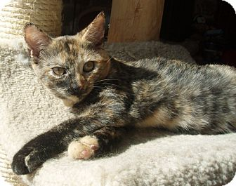 Domestic Shorthair Cat for adoption in Germansville, Pennsylvania - Gabby