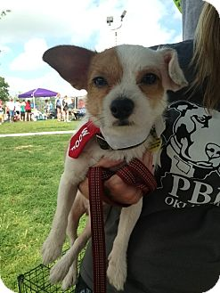 Terrier (Unknown Type, Small)/Chihuahua Mix Dog for adoption in Blanchard, Oklahoma - Pixel