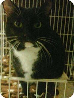 Domestic Shorthair Cat for adoption in Hamburg, New York - FRESCA