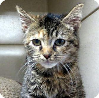 Domestic Shorthair Kitten for adoption in Middletown, New York - Vanity