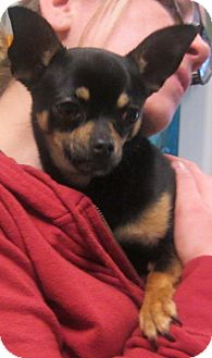 Chihuahua Mix Dog for adoption in Oak Ridge, New Jersey - Tiny Tyrion
