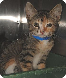 Domestic Shorthair Kitten for adoption in Brooksville, Florida - 1024004