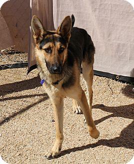 German Shepherd Dog Mix Dog for adoption in Phoenix, Arizona - Hansel