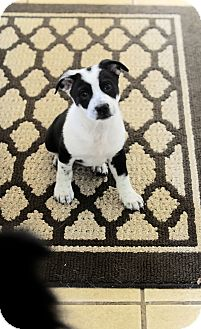 Border Collie/Labrador Retriever Mix Puppy for adoption in Memphis, Tennessee - Mopsy