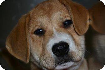 Spaniel (Unknown Type) Mix Puppy for adoption in Edwardsville, Illinois - Iron Man