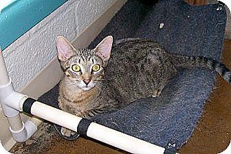 Egyptian Mau Cat for adoption in Scottsdale, Arizona - Tiger