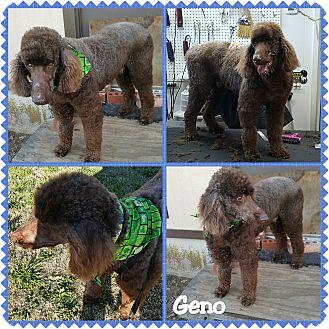 Poodle (Standard) Dog for adoption in Hurst, Texas - Geno