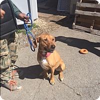 Adopt A Pet :: Mickey - Park Ridge, NJ