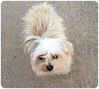 Maltese Puppy for adoption in Dallas, Texas - Zeke