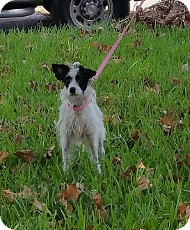Jack Russell Terrier Mix Dog for adoption in Houston, Texas - JANIE
