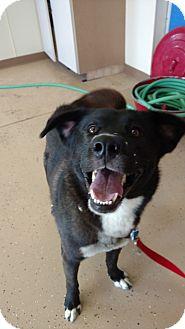 Husky/Labrador Retriever Mix Dog for adoption in Brookings, South Dakota - Butch