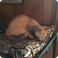 Adopt A Pet :: Baby Ted - Clay, NY