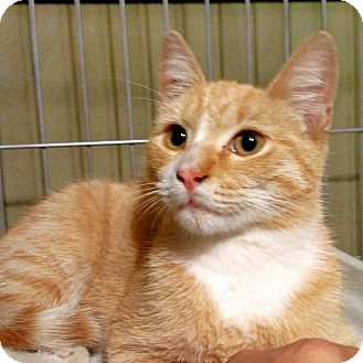 Domestic Shorthair Kitten for adoption in Brooklyn, New York - Galaxy