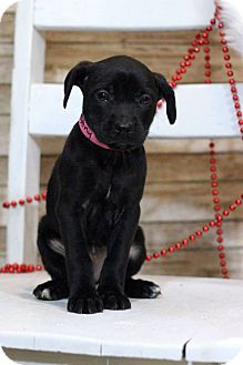 Labrador Retriever Mix Puppy for adoption in Waldorf, Maryland - Destiny