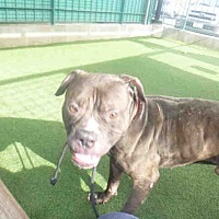 Adopt A Pet :: A1683868 at West LA Shelter - Beverly Hills, CA