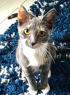 Domestic Shorthair Kitten for adoption in Jersey City, New Jersey - Esme