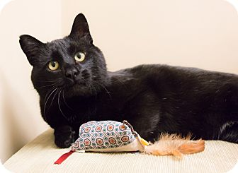 Bombay Cat for adoption in Chicago, Illinois - Rally
