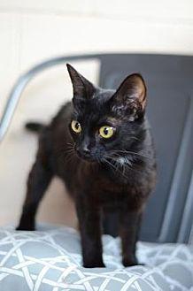 Domestic Shorthair/Domestic Shorthair Mix Cat for adoption in Dahlonega, Georgia - Jynx