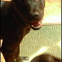 Adopt A Pet :: Cutie Tank - Pittie Lab Boy - Millbrook, NY