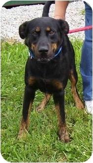 Rottweiler Mix Dog for adoption in Somerset, Pennsylvania - Rex