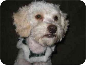 Poodle (Miniature) Mix Dog for adoption in Calgary, Alberta - Wendino