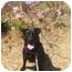 Photo 2 - Labrador Retriever/Chow Chow Mix Dog for adoption in Berkeley, California - Lily