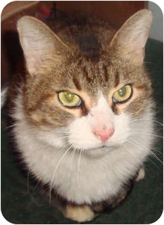 Domestic Shorthair Cat for adoption in Peoria, Illinois - Sam