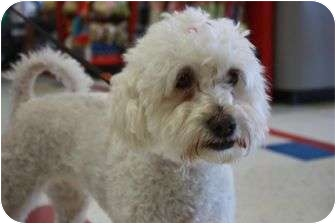 Poodle (Miniature) Mix Dog for adoption in Arlington, Texas - Wendy