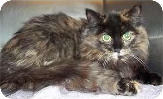 Domestic Longhair Kitten for adoption in Hammonton, New Jersey - Goldie